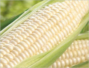 Border King Maize / Corn - Open Pollinated - Bulk Vegetable Seeds