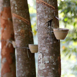 Rubber trees tapped with latex sap dripping into a bowl.