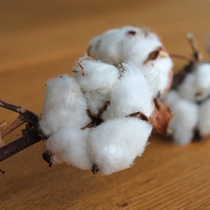 Organic cotton boll resting on wood table