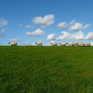 Sheep walking in green grass with a bright blue sky.
