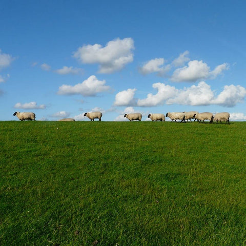 Flock of sheep walking on green grass with bright blue sky