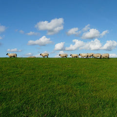 herd of sheep walking on green grass with bright blue sky
