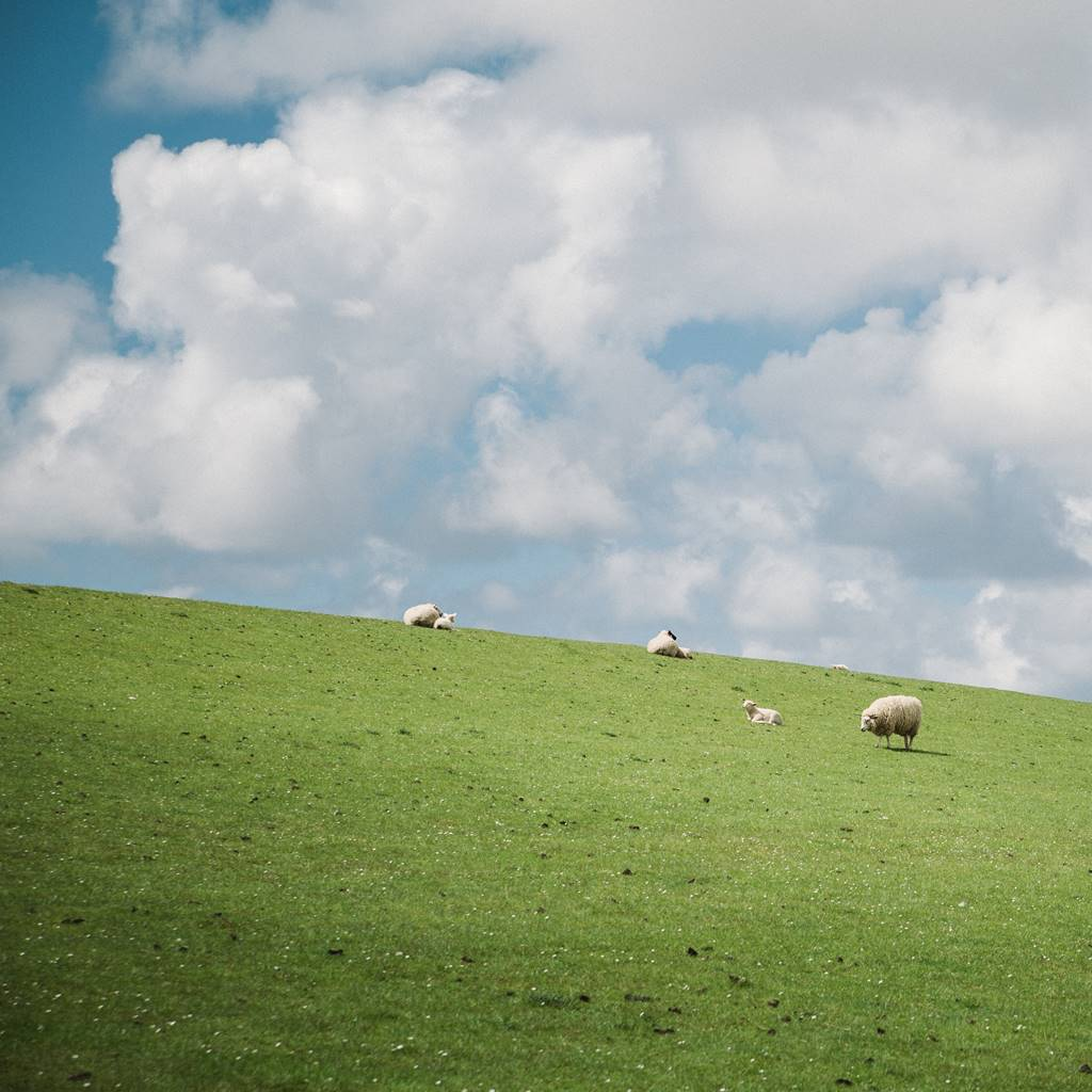 Flock on sheep on a green grassy hill with blue sky and white clouds