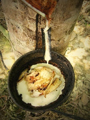 White sap from the rubber tree being collected in a bowl.