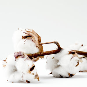 Four white organic cotton bolls still attached to the branch resting a white surface
