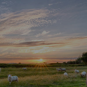A flock of sheep in an open field with the sun setting in the background