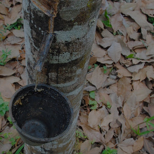 Rubber tree tapped with vessel attached to tree to collect the liquid latex