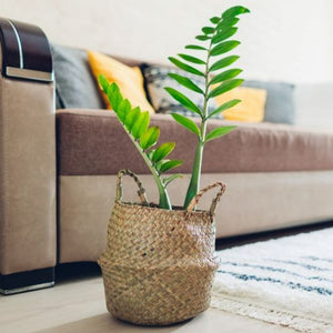 Easy Care ZZ Plant - Perfect for the Beginning Houseplant Parent