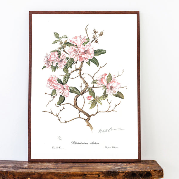 Rhododendron One Limited Edition Print