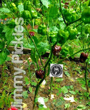 Load image into Gallery viewer, 7 Pot Brown JP (ISOLATED) (Super Hot) capsicum chinense 10 seeds