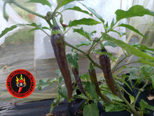 Load image into Gallery viewer, Buena Mulata (Capsicum Annuum) Low Hot-10 Isolated Seeds