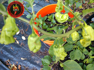 Goronong (Capsicum Chinense) Hot- 10 Isolated Seeds