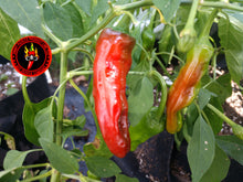 Load image into Gallery viewer, Shishito (Capsicum Annuum) Hot- 10 Isolated Seeds