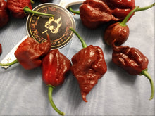 Load image into Gallery viewer, M.A. Mutant X Chocolate (Capsicum Chinense) Super Hot- 10 Isolated Seeds