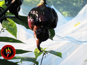 Purple Reaper (Capsicum Chinense) Super Hot- 10 Isolated Seeds