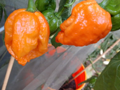 7 Pot Orange (Capsicum Chinense) Super Hot- 10 Isolated Seeds