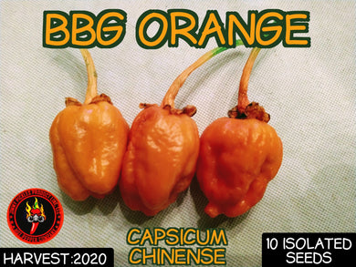 BBG Orange (Capsicum Chinense) Superhot-10 Isolated Seeds