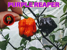 Load image into Gallery viewer, Purple Reaper (Capsicum Chinense) Super Hot- 10 Isolated Seeds