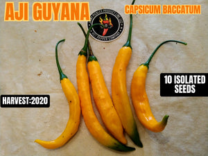 Aji Guyana (Capsicum Baccatum) Hot- 10 Isolated Seeds