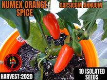 Load image into Gallery viewer, Orange Spice Jalapeno (Capsicum Annuum)-Hot-10 Isolated Seeds