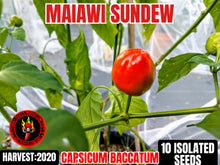 Load image into Gallery viewer, Malawi Sundew (Capsicum Baccatum) Mild Hot- 10 Isolated Seeds