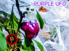 Load image into Gallery viewer, Purple UFO (Capsicum Annuum)-Hot- 10 Isolated Seeds