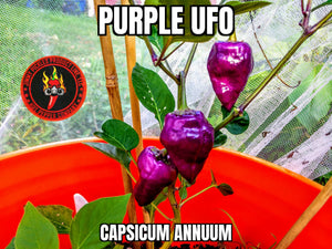 Purple UFO (Capsicum Annuum)-Hot- 10 Isolated Seeds
