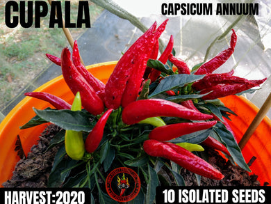 Cupala (Capsicum Annuum) Hot- 10 Isolated Seeds