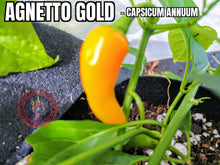 Load image into Gallery viewer, Agnetto Gold (Capsicum Annuum) Low Heat-Mid Hot- 10 Isolated Seeds