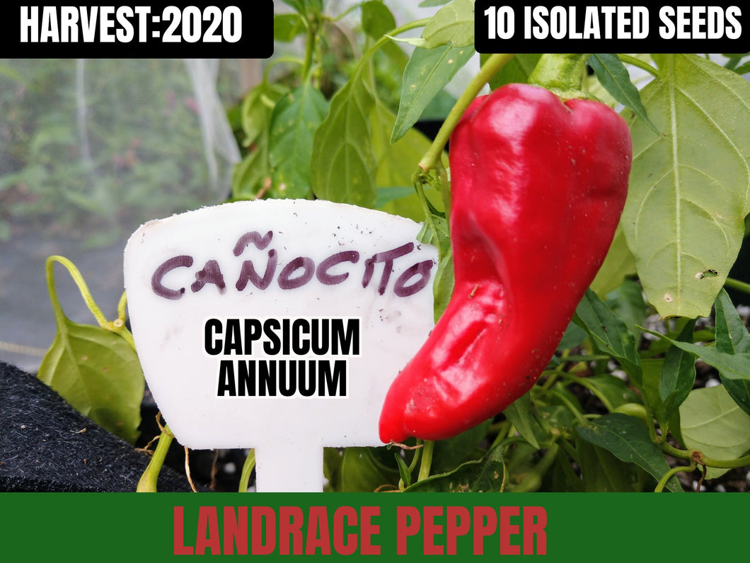 Canocito (Capsicum Annuum) Low Heat-Sweet- 10 Isolated Seeds