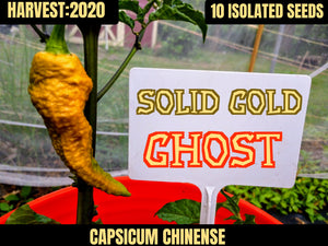 Solid Gold Ghost (Capsicum Chinense)-Super Hot- 10 Isolated Seeds