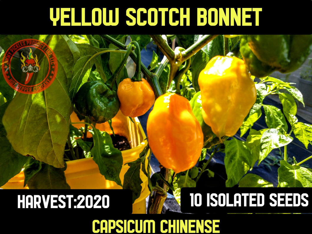 Scotch Bonnet Yellow (Capsicum Chinense) Hot- 10 Isolated Seeds