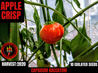 Apple Crisp (Capsicum Baccatum)-Low Heat-10 Isolated Seeds