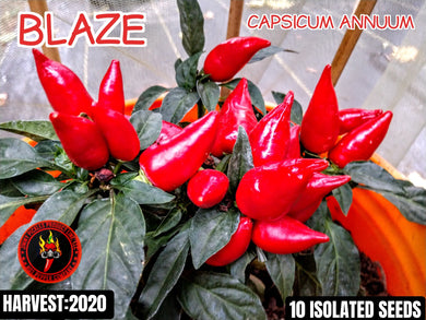 Blaze Ornamental +Capsicum Annuum) Mild- 10 Isolated Seeds