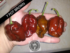 7 Pot Brown JP (ISOLATED) (Super Hot) capsicum chinense 10 seeds