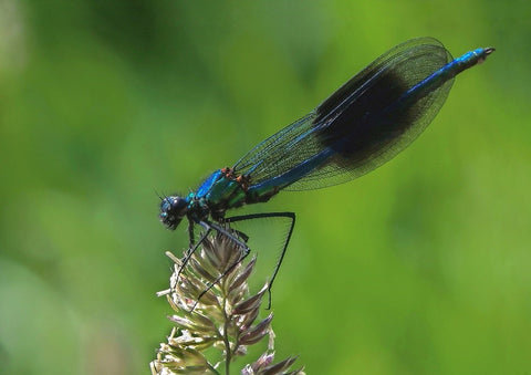 Banded Damoiselle - difference between dragonfly and damselfly