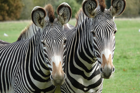 Interesting facts about Grevy's
