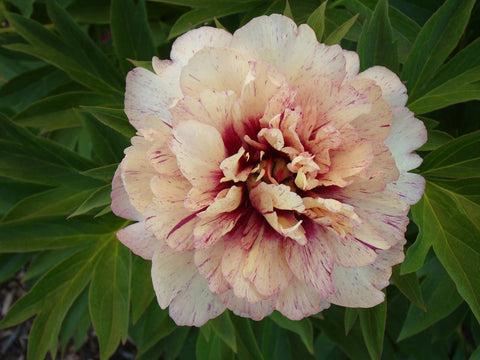 Facts about peony flowers