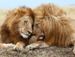 Lions Snuggling