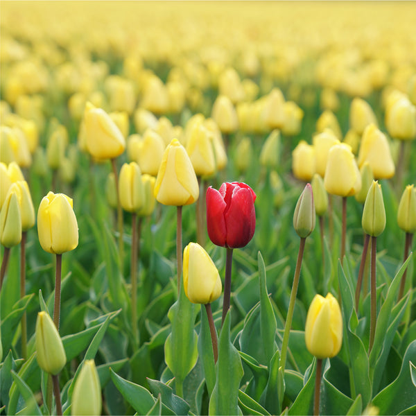 field of yellow tulips with one red