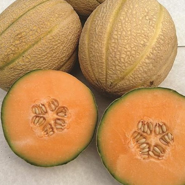 Ambrosia Cantaloupe F1 Super Sweet And Aromatic Melon Papaw S Garden Supply Llc It possesses about 4% fat, 3.6% protein and 2.5% carbohydrate. papaw s garden supply llc