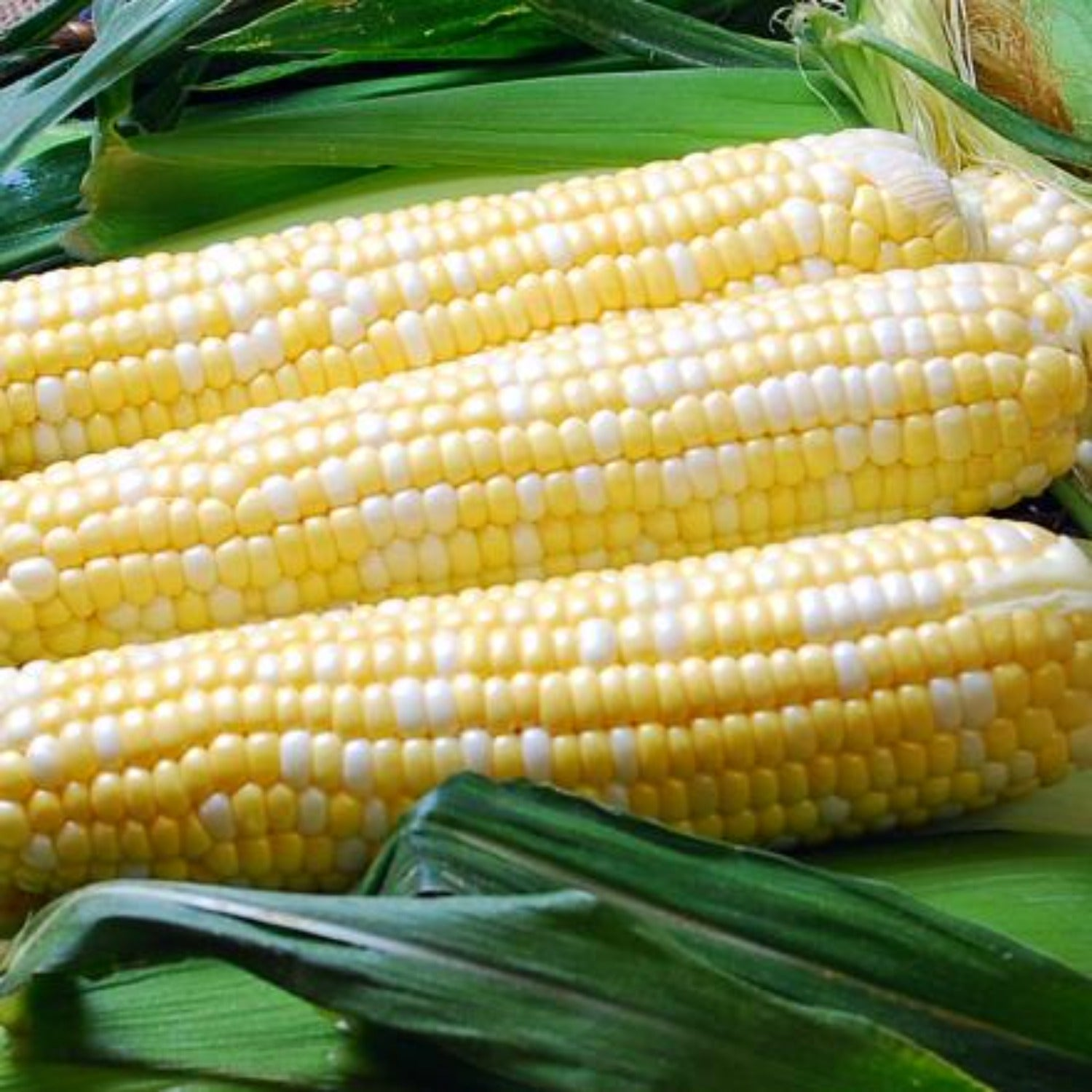 Ambrosia Sweet Corn Treated Seed