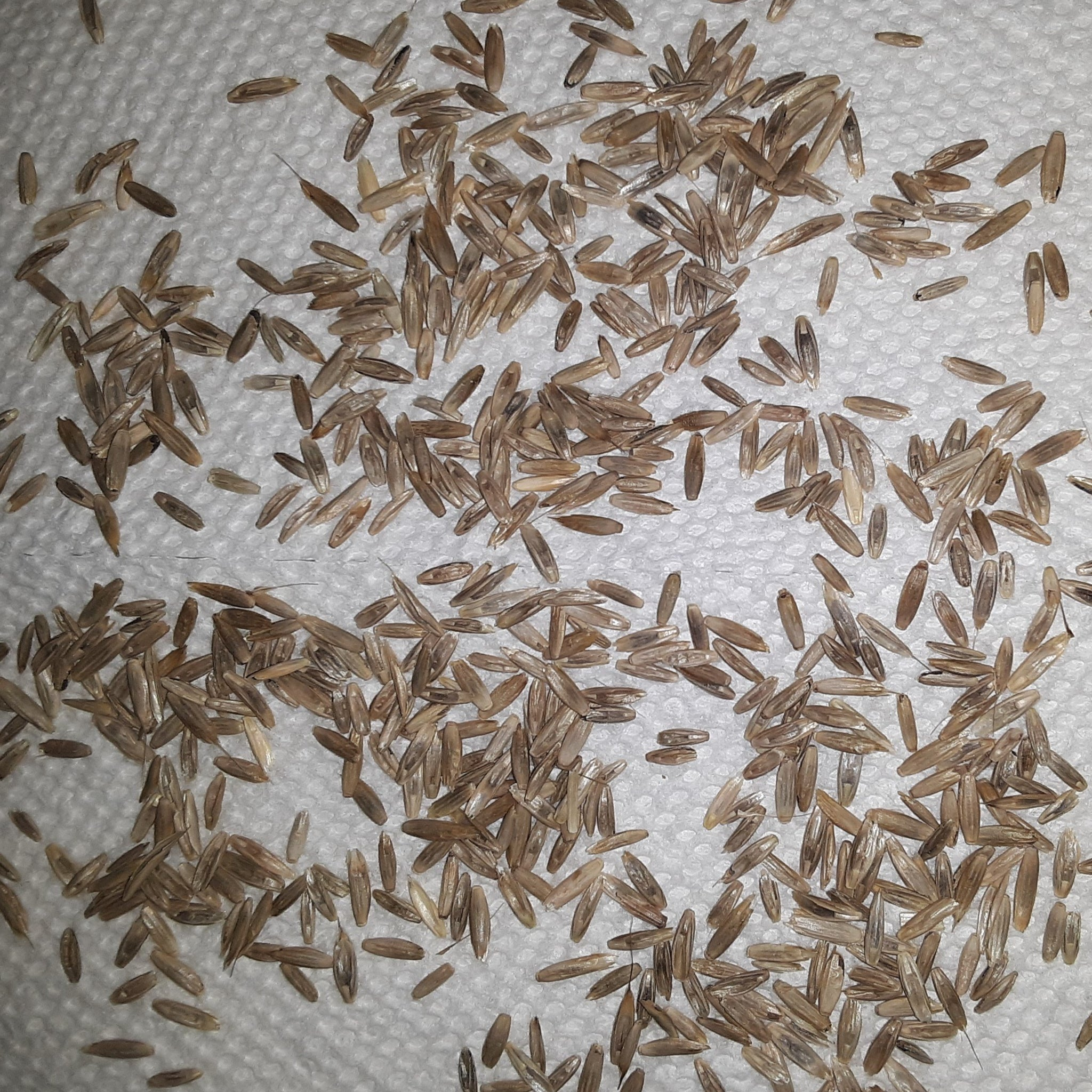 Annual Rye Grass Cover Crop Seeds