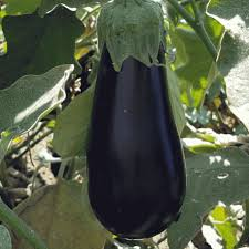Black Beauty Heirloom Egg Plant Seeds
