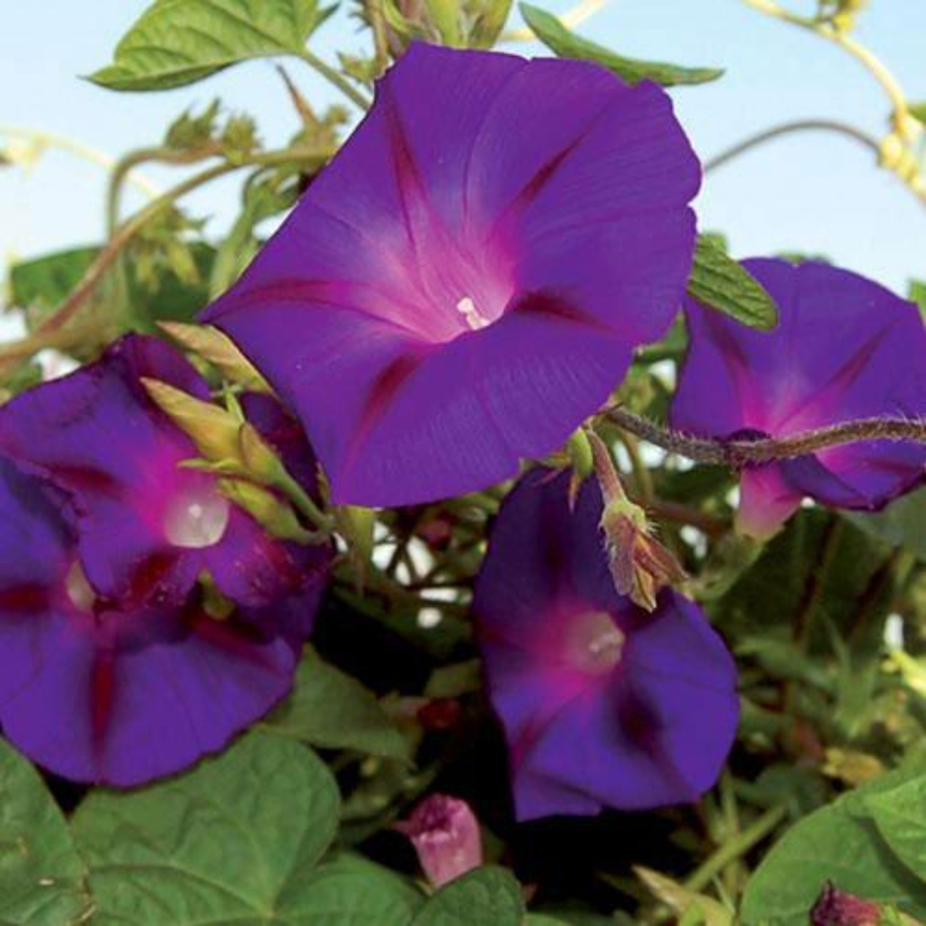 Grandpa Ott Morning Glory Vining Flower