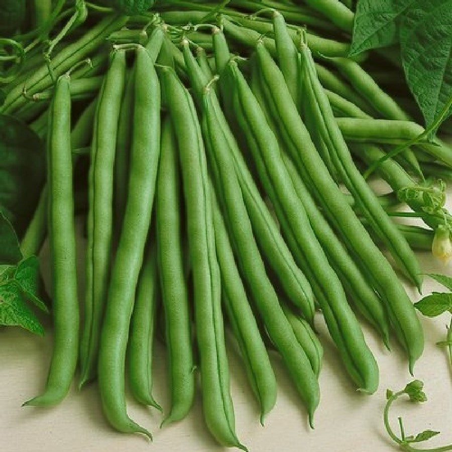 Provider Bush Green Bean