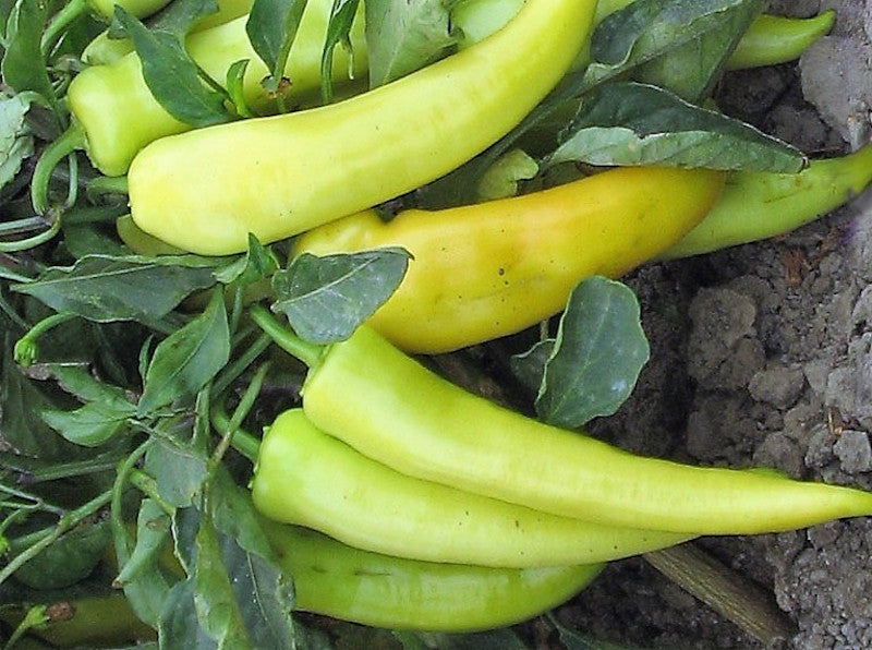 Golden Dagger Hot Pepper Seeds