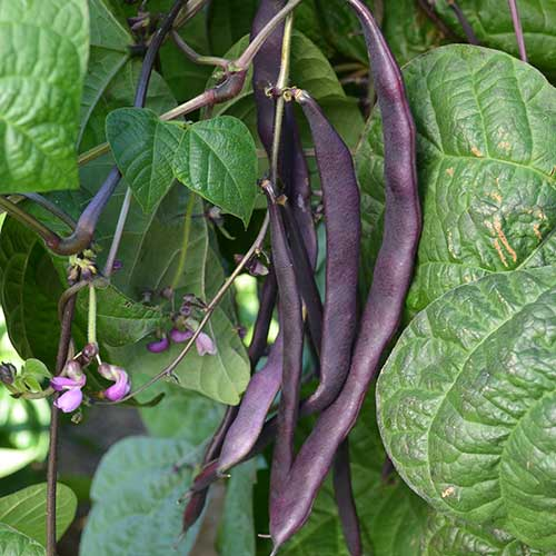 Purple pod Pole Bean Seeds