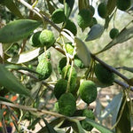 Do olives like drought?