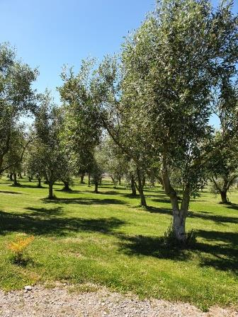 What does a warm wet summer do to the Olives?